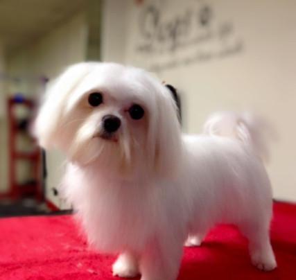 Dog-Grooming-Maltease.jpg