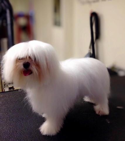Maltease-Dog-Grooming-Doncaster.jpg