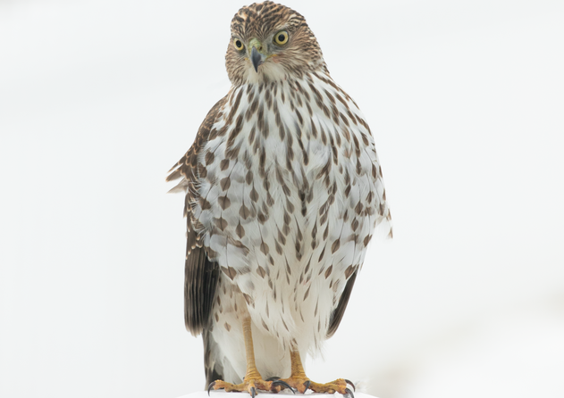 Hawk in the winter