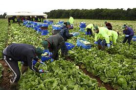 Lettuce field 3.jpg