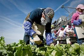 Lettuce field 2.jpg