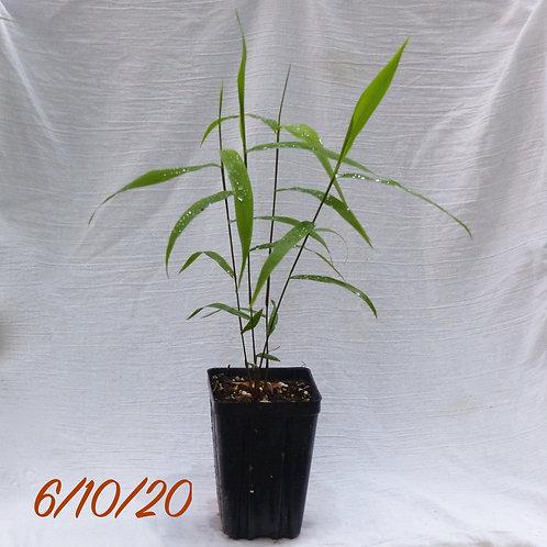 Chasmanthium latifolium (Northern sea oats)
