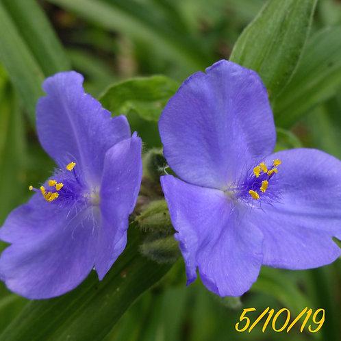 Tradescantia Ohiensis (Spiderwort)