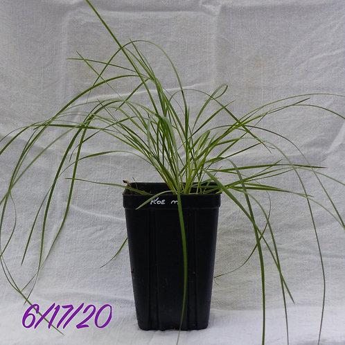 Koeleria macrantha (June Grass)