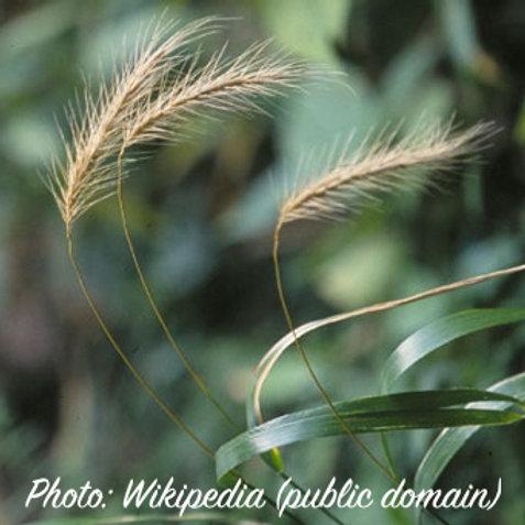 Elymus villosus (Silky Wild Rye)
