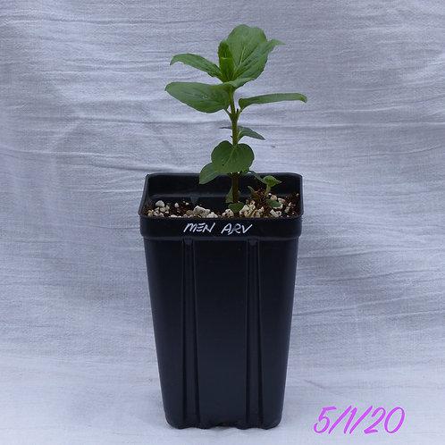 Mentha canadensis (Wild Mint)
