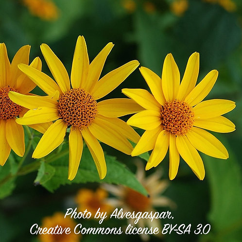 Heliopsis helianthoides (False Sunflower)