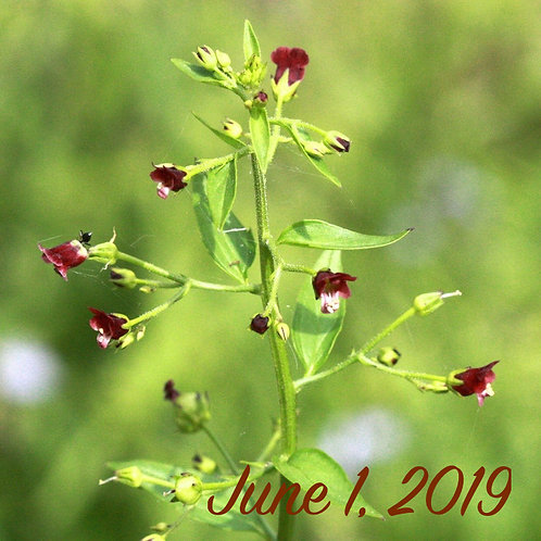 Scrophularica marilandica (Late Figwort)