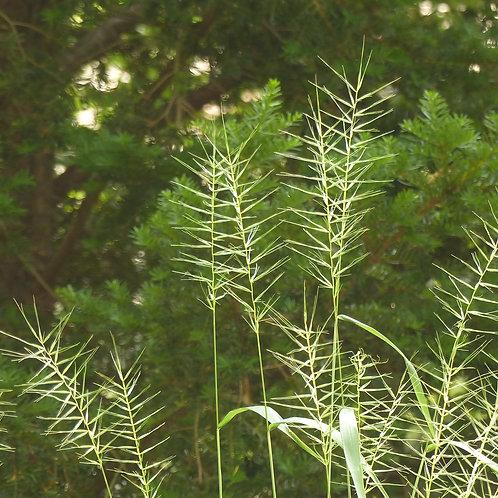 Elymus hystrix (Bottlebrush Grass)