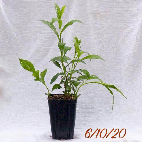 Symphyotrichum ericoides (Heath Aster)