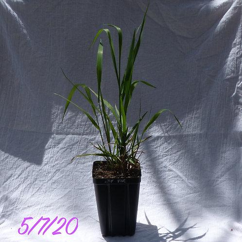 Elymus virginicus (Virginia Wild Rye)