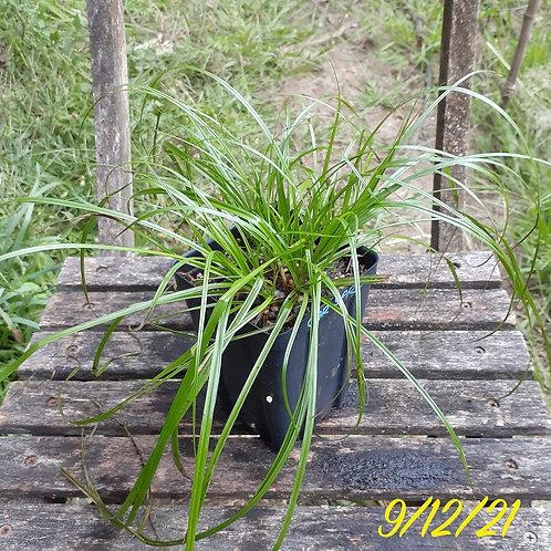 Grass/Sedge: Carex Sprengelii (Long-Beaked Sedge)