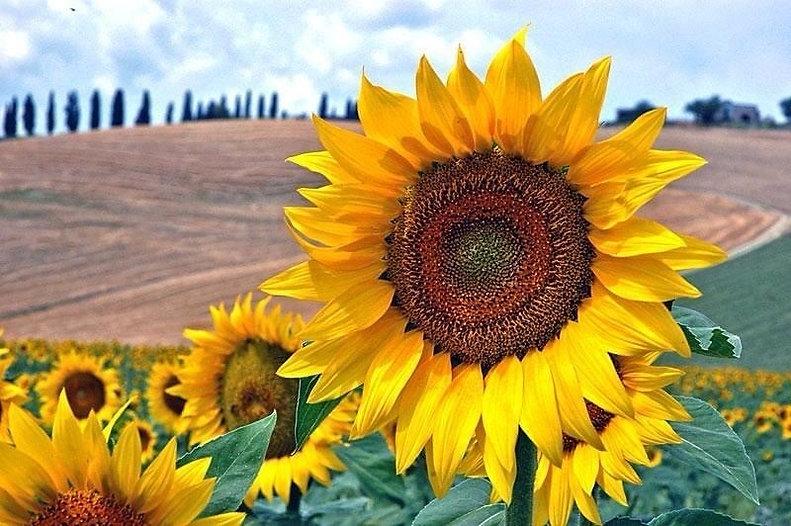 fbsunflower.jpg