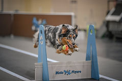 Marty Flyball and ball.JPG