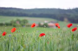 Ums Huus ume | Poppies