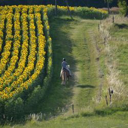 Reiterin und Sonnenblumen