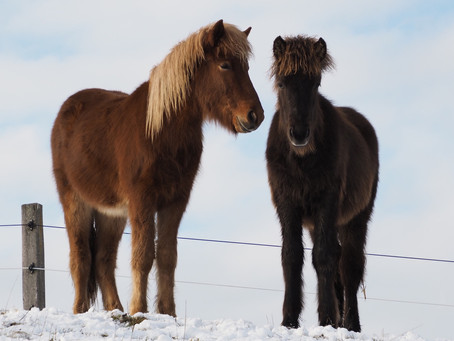 Zwei Fohlen im Winterglück