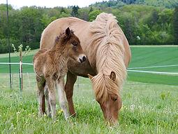 Zuchtpferde Islandpferdehof Weierholz