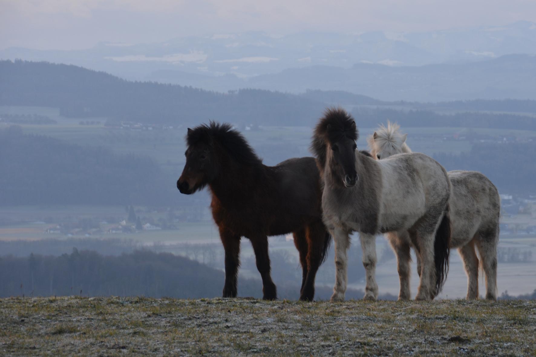 Weide Pferde bei Kalchrain