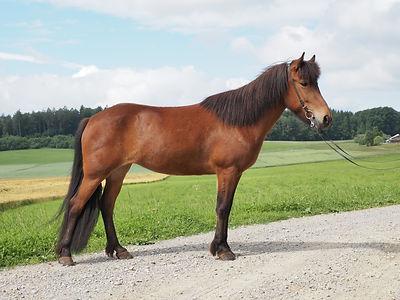 Verkaufspferde Islandpferdehof Weierholz