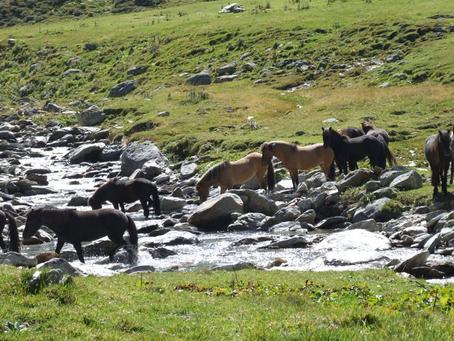 Fohlenbesuch auf der Alp