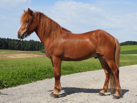 Neue Verkaufspferde aus Island