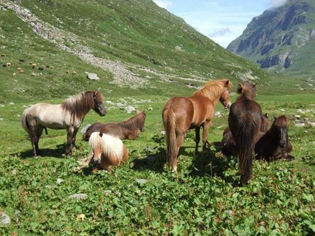 Impressionen von unseren Fohlen auf der Alp
