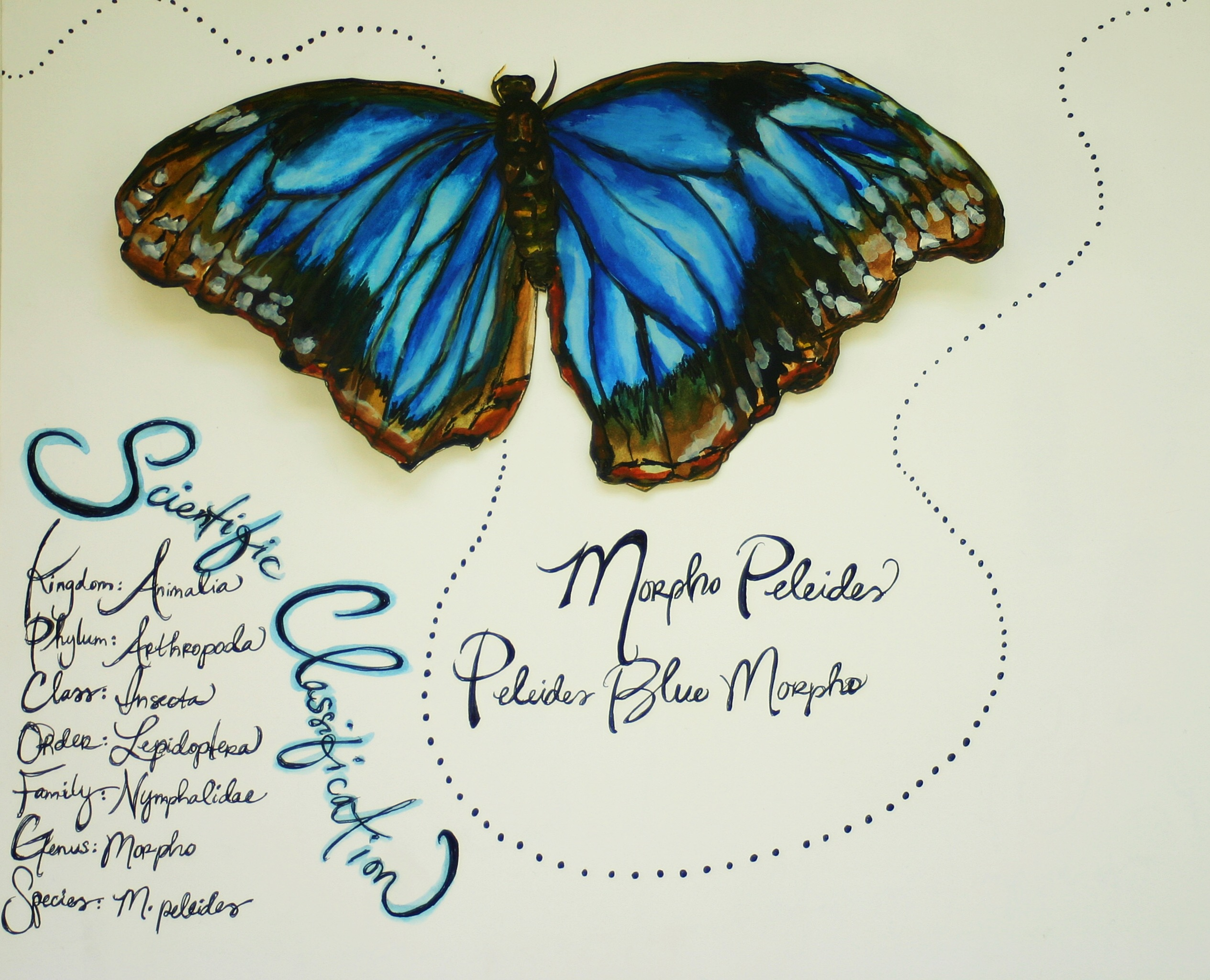 Blue Morpho sketch