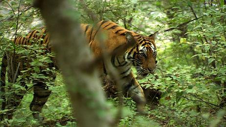 wild tiger india ranthambore national park james levelle films