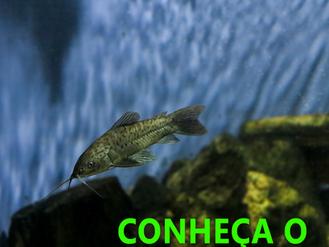 Conheça tudo sobre o peixe Tamoatá na sua visita no Aquário.