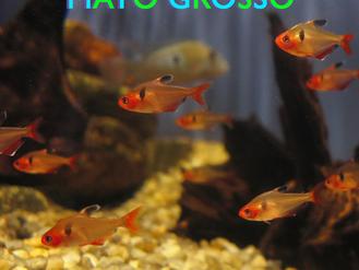 Mato-Grosso (Hyphessobrycon eques)