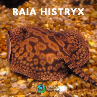Raia Histryx