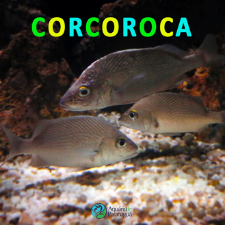 Corcoroca (Haemulon plumierii)
