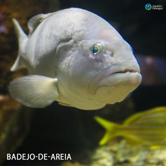 BADEJO-DE-AREIA