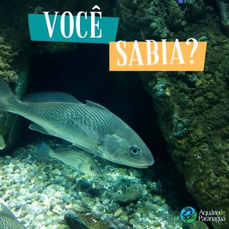 Curiosidade sobre o peixe Corvina