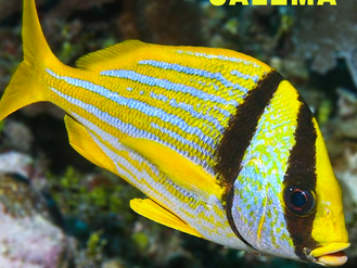 Peixe Salema