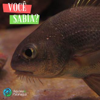 Curiosidade sobre o peixe Miraguaia