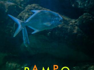 Peixe Pampo (Trachinotus carolinus)