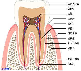 歯の移植術