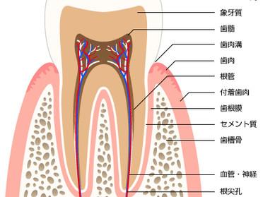 「歯の引越し」歯の移植術について