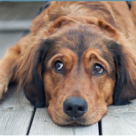 DO OLDER DOGS STILL NEED HEARTWORM PREVENTION?