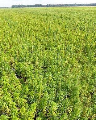 hemp field web.jpg