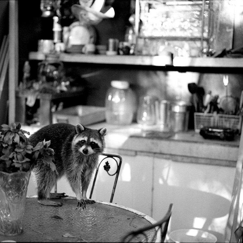 A Racoon at Gary's Place, 2017