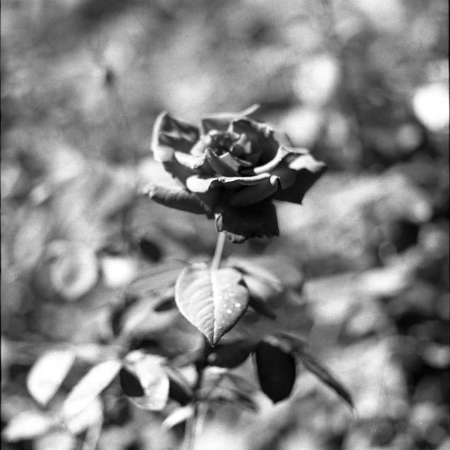A Rose, 2017