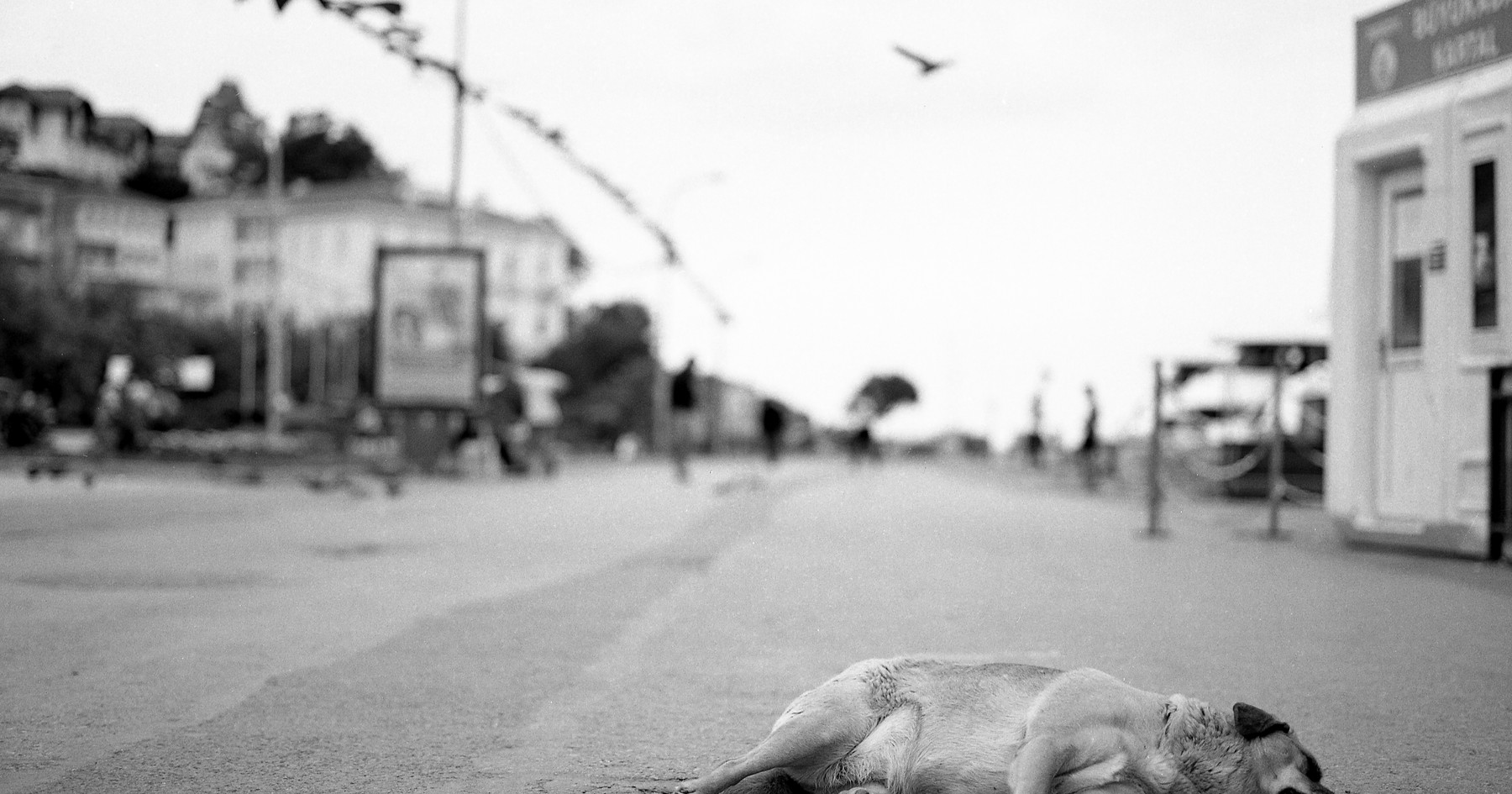 Dog laying in the street, 2017