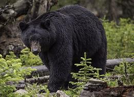black-bear-1170229_1920_edited.jpg