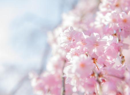 京都でお花見!桜スポット5選☆