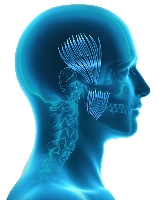 BruxRelief Anatomy Head (web).png