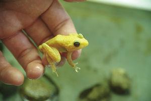 黄カエル.jpg
