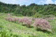 02.5.9菅沼八重桜.jpg